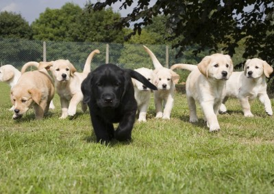 Labrador Golden retriever cross puppies litter on grass running.